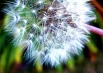 dandelion-seeds-844503-thumbnail
